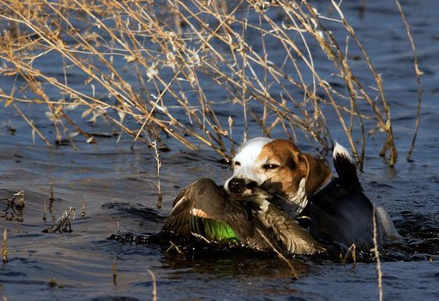Forget What You Ve Heard Jack Russells Are Keen Gundogs