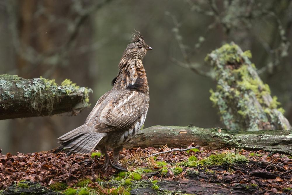 классики, птицы на которых охотятся в россии склоне щебеночную дорожку