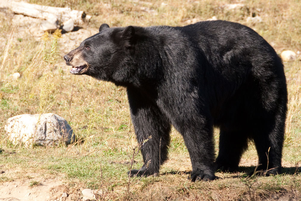 Utah to Offer More Black Bear Permits